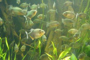 piranhas_onl.jpg