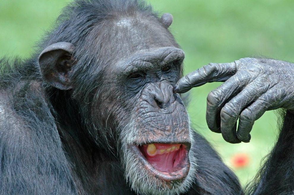 schimpanse___photos_com01.jpg