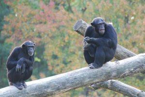 schimpansen02.jpg