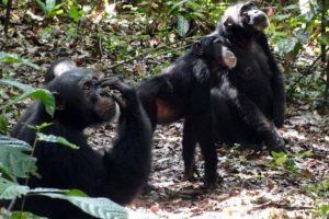 schimpansen04.jpg