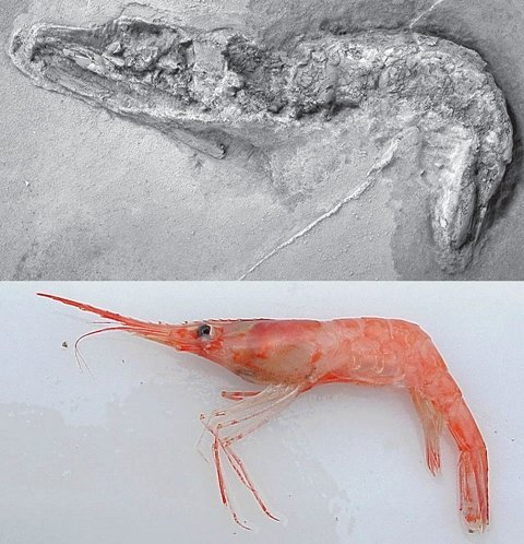 shrimp_fossil_and_recent.jpg
