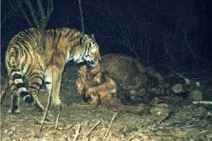 sibirischer_tiger.jpg