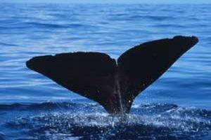 sperm_whale_fluke_dilaudid.jpg