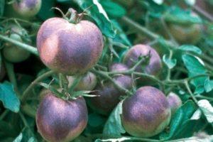 tomaten.bmp