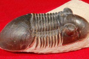 trilobiten.jpg