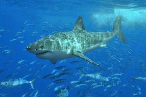 white_shark_terry_goss.jpg