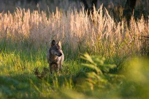 wolf-DaubitzerRudel_Jan_Noack_01.jpg